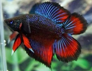 Doubletail Plakat betta